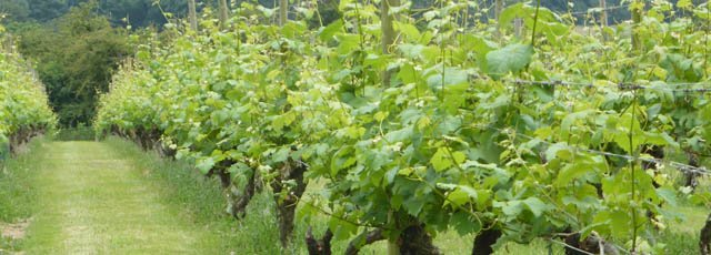 Rows of vines at Warden Abbey Vineyard