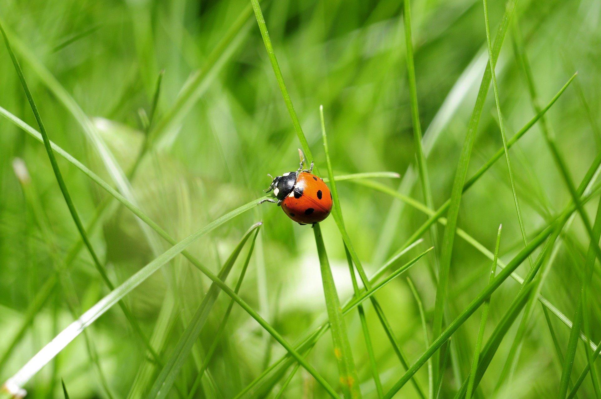 Ladybird in grass